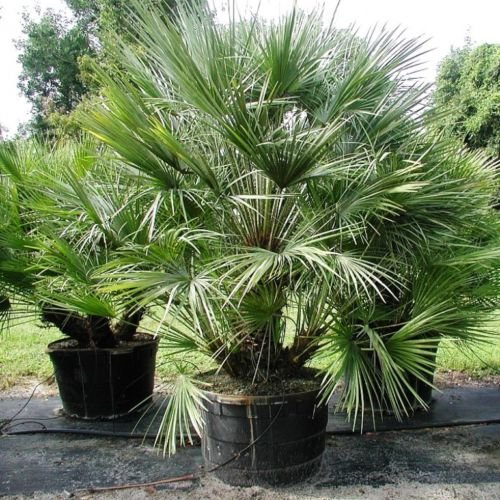 palmenarten bestimmen kretische dattelpalme in vai. Black Bedroom Furniture Sets. Home Design Ideas